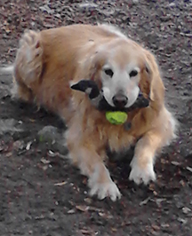 Buddy before this adventure when he had four legs - and a ball and duck in his mouth