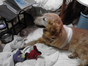 here is Buddy with his Ace bandage reinforcing his gauze bandages watching the cat on the sofa