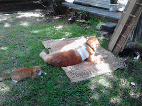 Pumpkin, the orange cat wants to join the group but isn't so sure about the front end of Buddy - so he stays at the back end.
