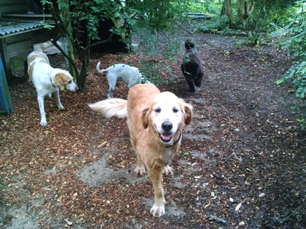 Buddy in his yard with Bella (left), Stubby (right) and neighbor friend Callie (behind him)