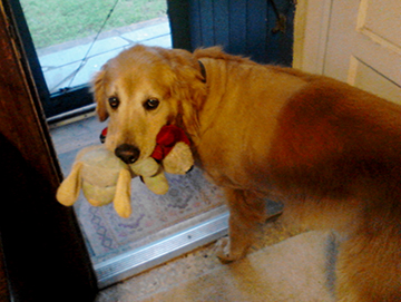 Buddy is asking to go out. He has his blue doll and his red doll to make him even more happy